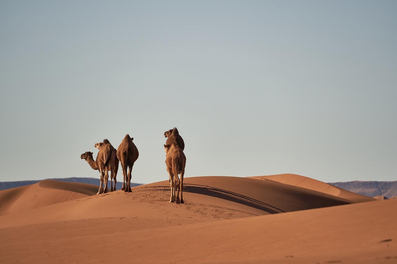 El camello y el dromedario son animales muy comunes para nosotros. Y cuando pensamos en ellos, siempre nos hacemos la misma pregunta: ¿Cuál es cada uno? ¿Cúal tiene una joroba y cual dos? Pero, a pesar de que el número de jorobas es la principal diferencia que los distingue, los dos tienen más características propias de las que pueden parecer a simple vista: