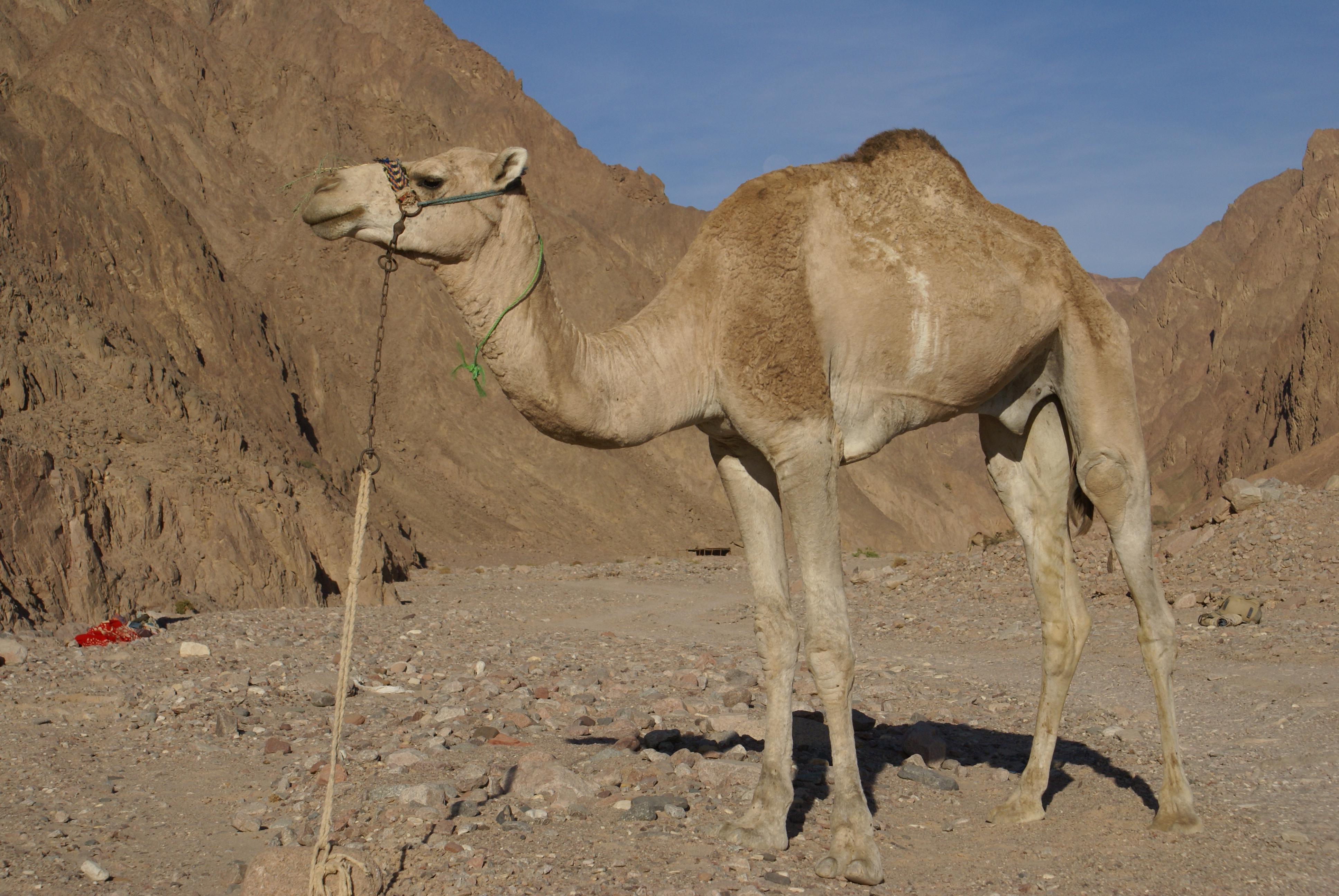 La historia del camello Canario