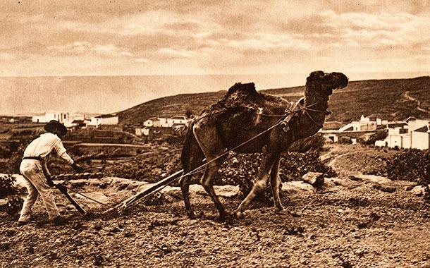 Camello Canario