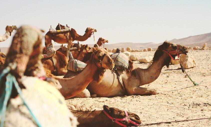 Tipos de camellos