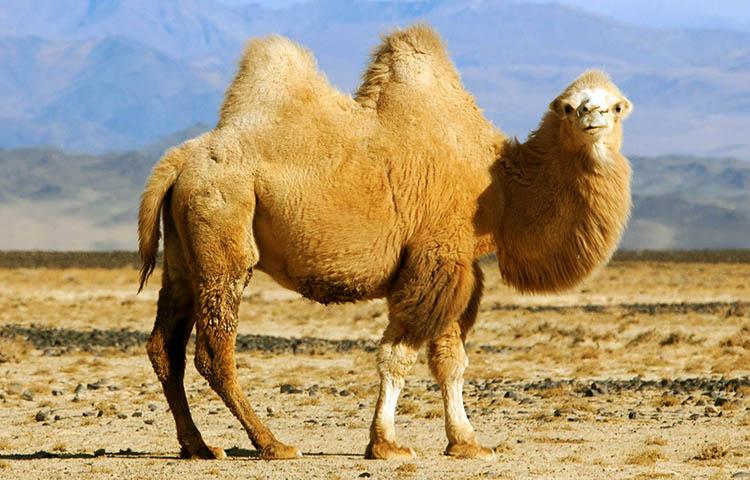 Camello bactriano