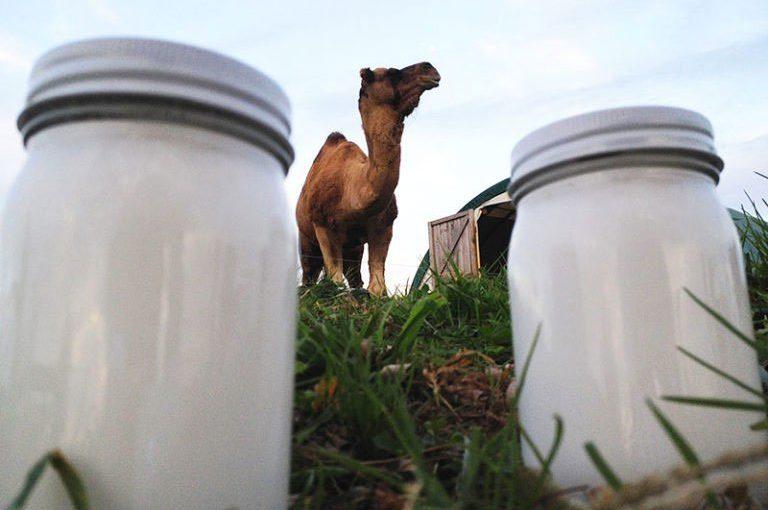 Leche de camello: la nueva tendencia
