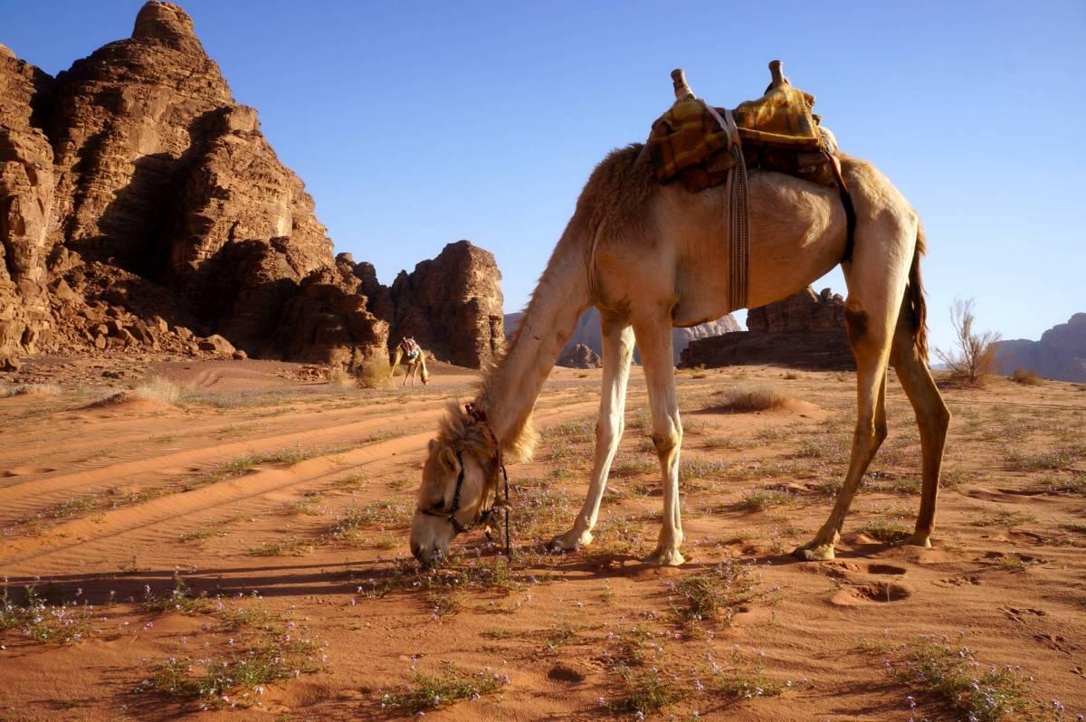 ¿Que comen los camellos?