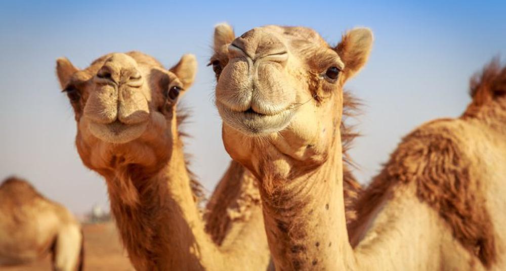 Harry El Camello, El Primer Camello En Australia