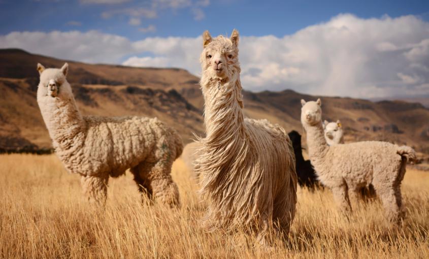 ¿Conoces al resto de la familia camelidae, los lamini?