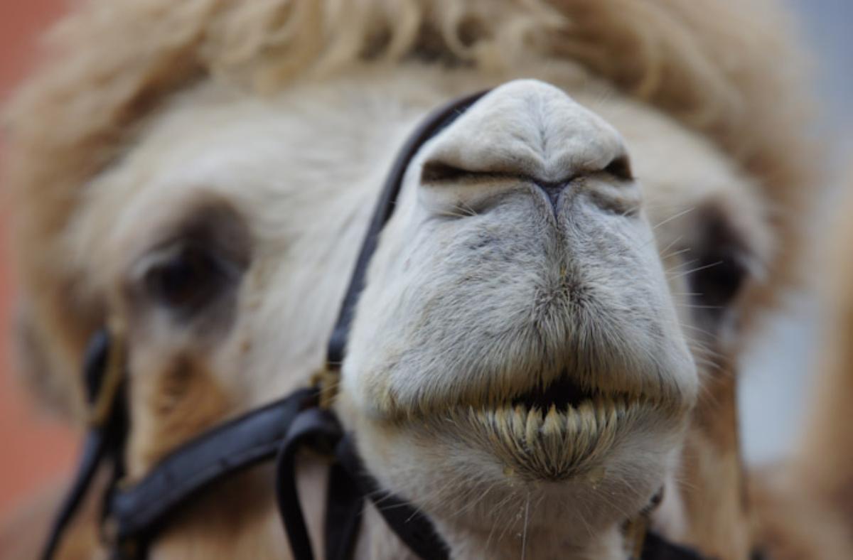 nariz de los camellos
